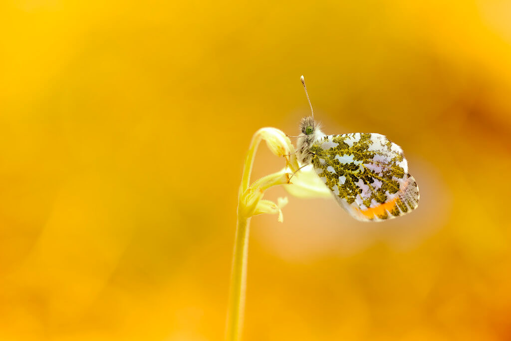 the__edge - The Orange Tip Butterfly