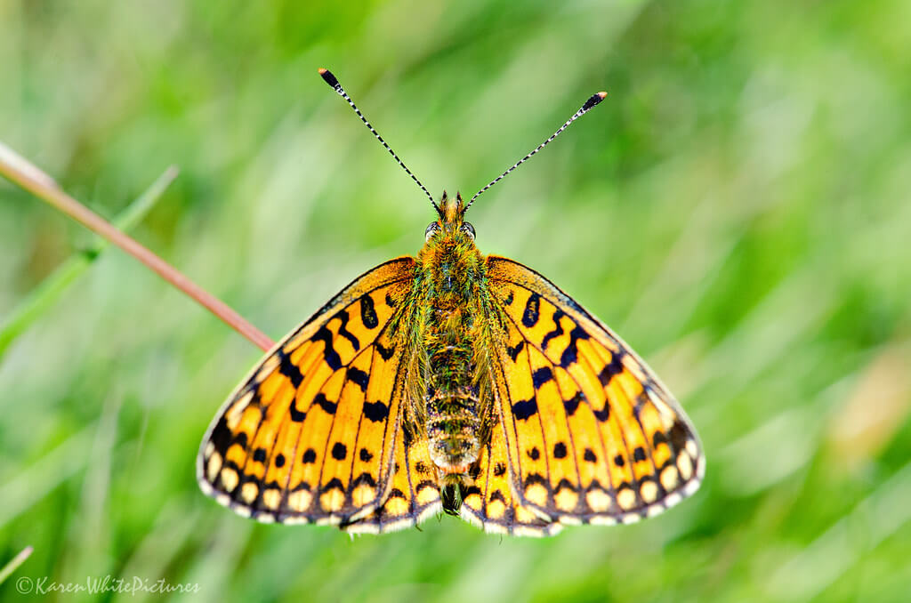 Karen White - small pearl bordered fritillary