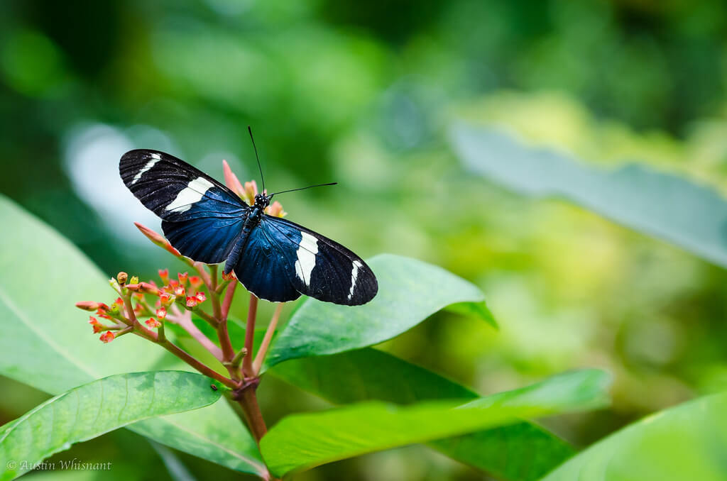 Austin Whisnant - White-barred Longwing