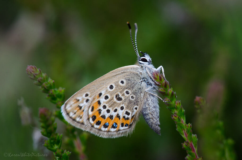 Karen White - Silver-studded Blue Butterfly