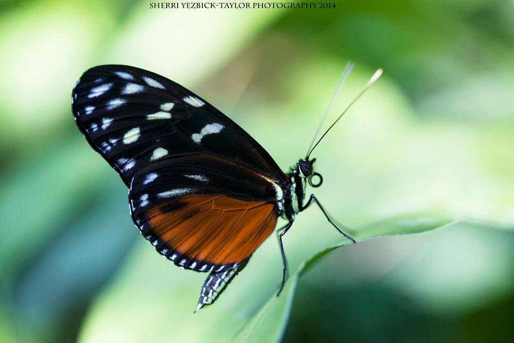 Sherri Yezbick-Taylor - Tiger Longwing