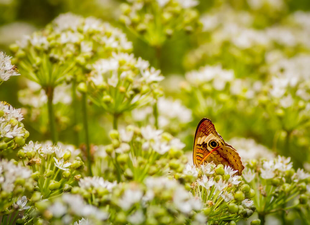 TroyMarcyPhotography - Peering Wings of a Common Buckeye Butterfly