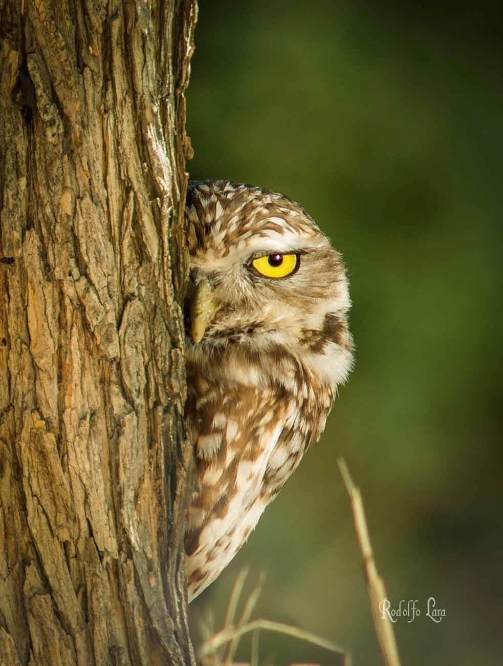Rodolfo Lara de la Fuente - Owl