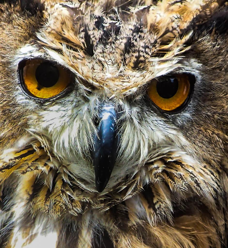 Steven Penton - Owl