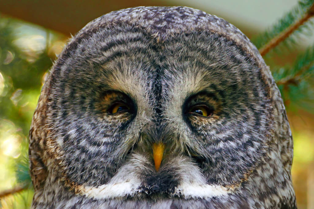 Bernard Spragg. NZ - Great Grey Owl - Strix nebulosa