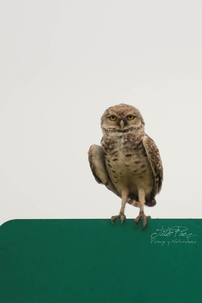 Gerardo Tito Paez - A Burrowing Owl