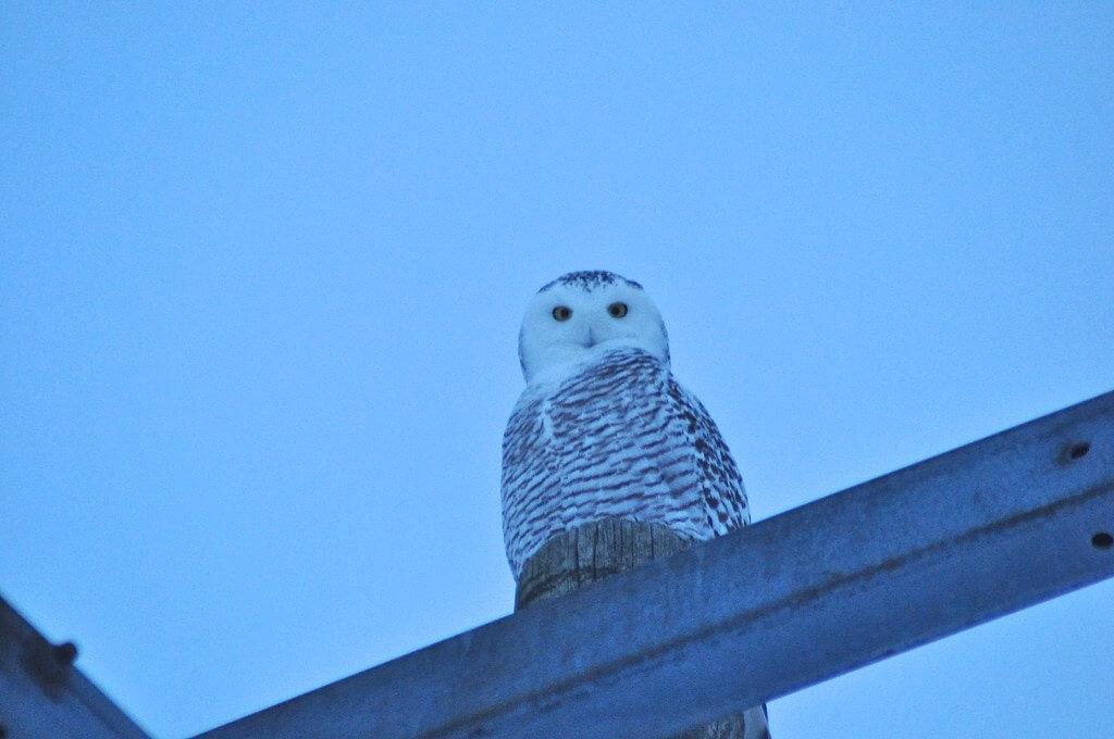 ethan gosnell2 - Snowy Owl female