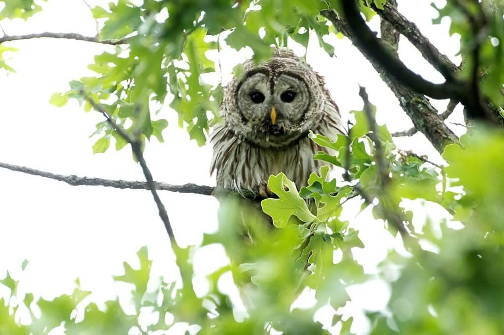 Wes Edens - owl in tree