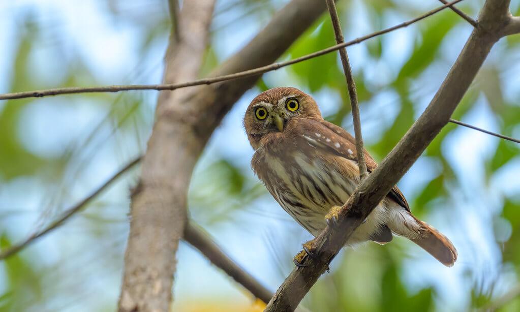 Becky Matsubara - Ferruginous Pygmy-Owl