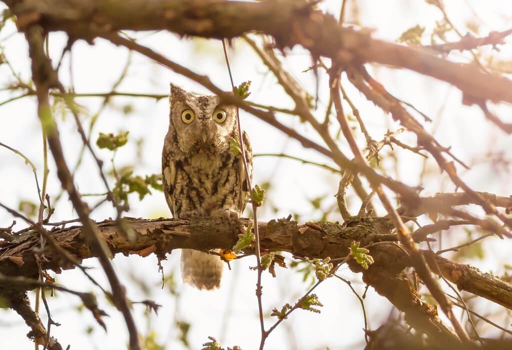 TroyMarcyPhotography - Eastern Screech-Owl