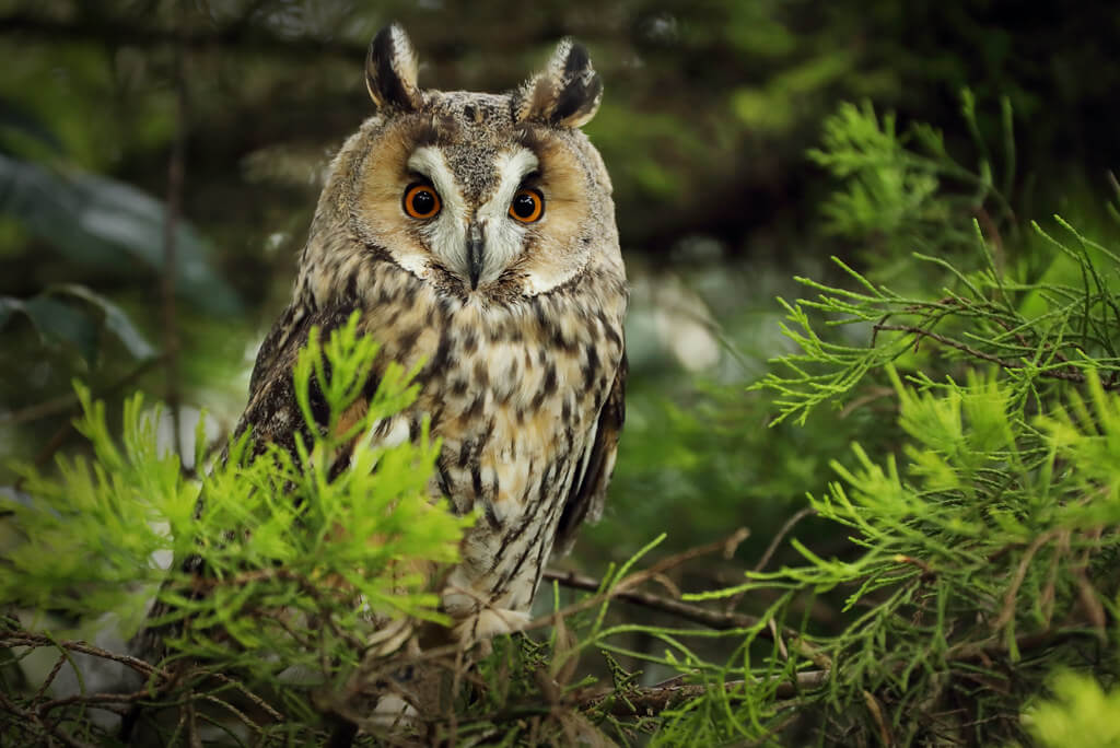 Charlie Marshall - Long-Eared Owl