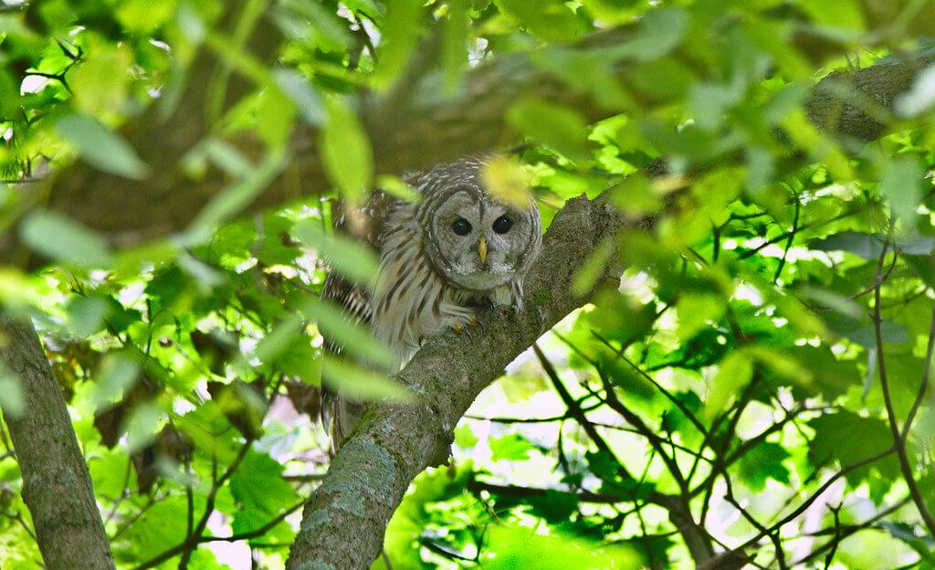 Andrew Weitzel - owl in tree