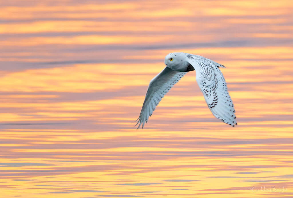 GoldenBright Larry - Snowy Owl in flight