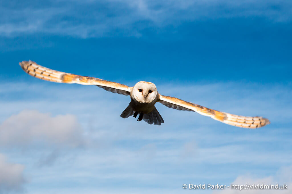 David Parker - Owl in flight