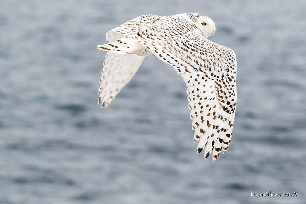 les matthews - Snowy Owl