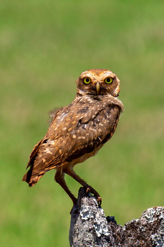 Henk Overbeek - Burrowing owl