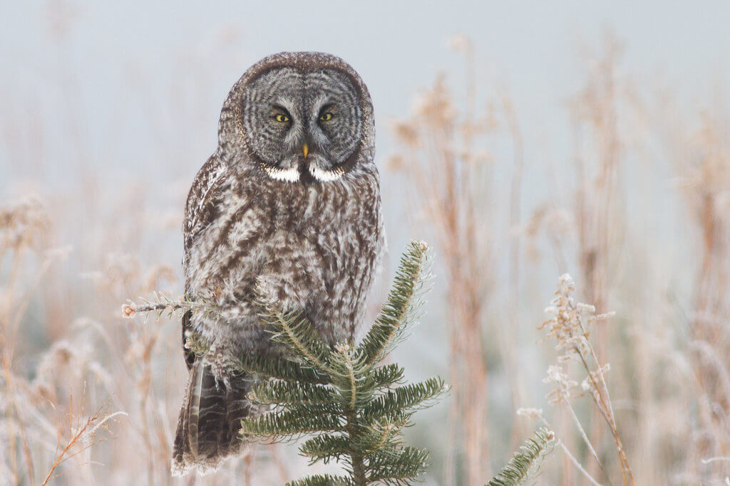 Fyn Kynd - Great Gray Owl