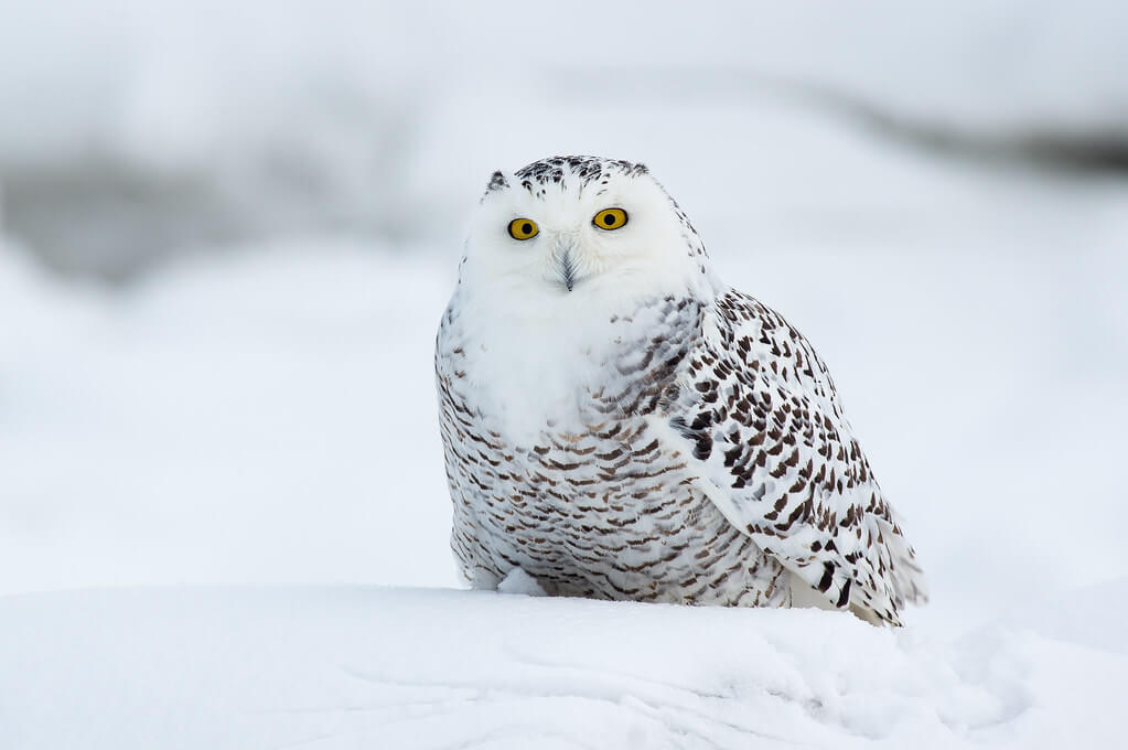 Silver Leapers - snowy owl